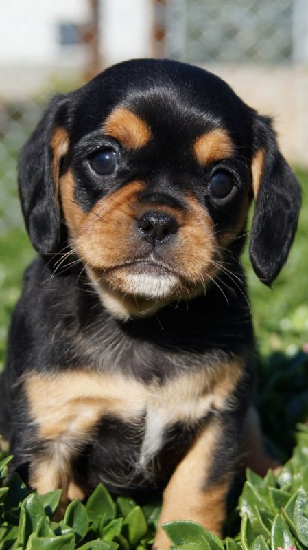 Pugaliers – Banksia Park Puppies